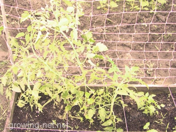 growing net on tomato plants